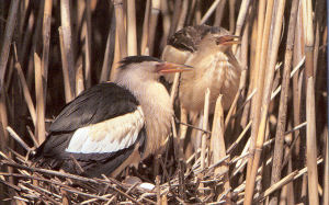Male Adult Little Bittern