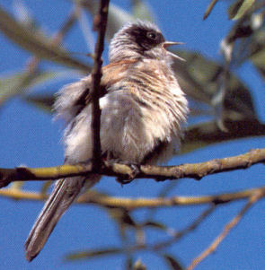 Male Adult Penduline Tit