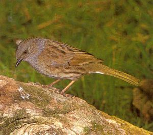 Male Adult Dunnock