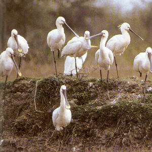 Adult Common Spoonbill
