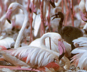 Adult Greater Flamingo