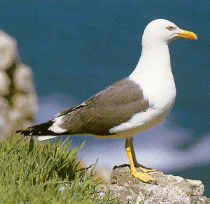 Adult Lesser Black-backed Gull