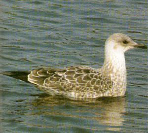 Juvenile Lesser Black-backed Gull