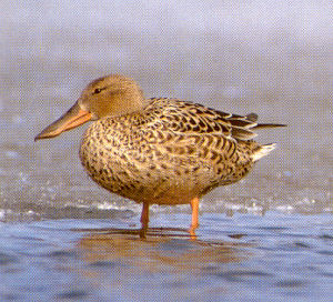 Female Shoveler