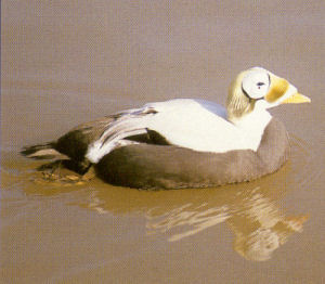 Female Spectacled Eider