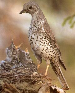 Adult Mistle Thrush