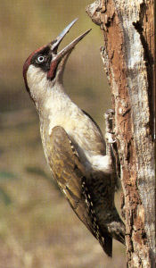 Male Adult Green Woodpecker