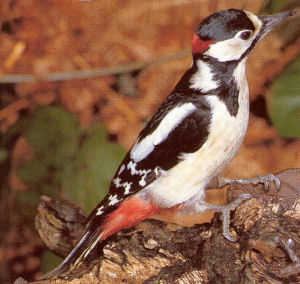 Male Adult Great Spotted Woodpecker