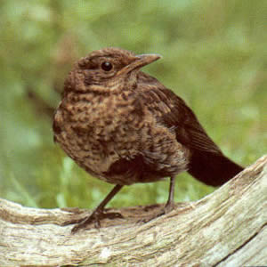 Juvenile Common Blackbird
