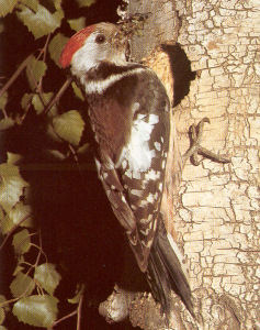 Female Middle Spotted Woodpecker