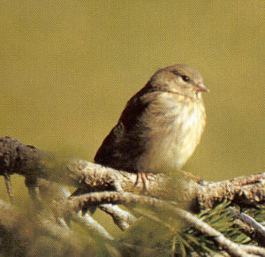 Female Citril Finch