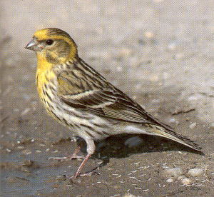 Male Adult European Serin