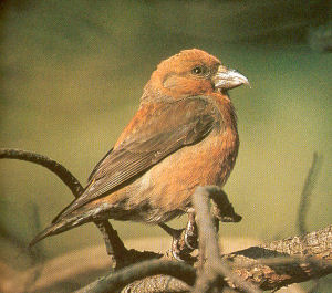 Male Adult Crossbill