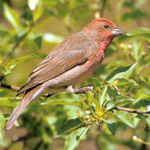 Male Common Rosefinch