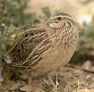 Male Common Quail