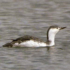 Adult Red-throated Diver