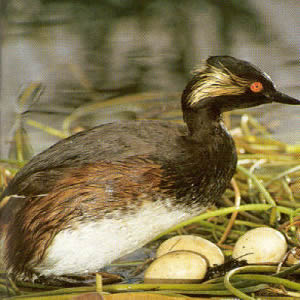 Adult Black-necked Grebe