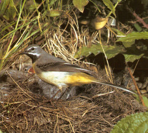 Adult Male Grey Wagtail - Orpington