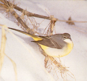Female Adult Grey Wagtail