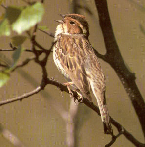 Female Little Bunting