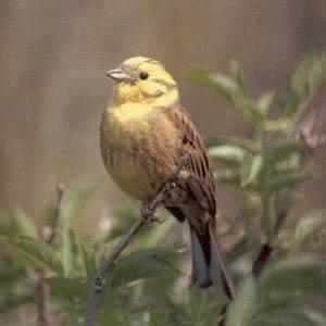 Male Adult Yellowhammer