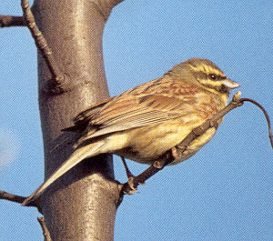 Male Cirl Bunting