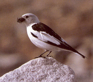 Male Adult Snow Bunting