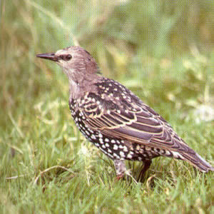 Juvenile Common Starling