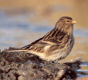 Male Adult Twite