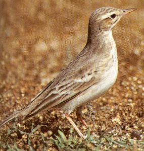 Adult Tawny Pipit