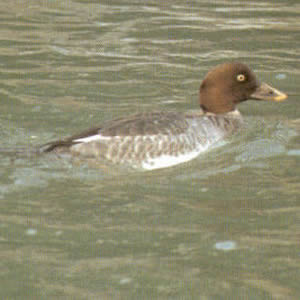 Female Adult Common Goldeneye