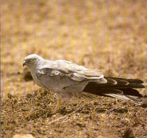 Male Montagu's Harrier