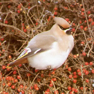 Female Waxwing