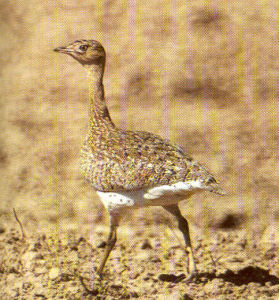 Female Little Bustard