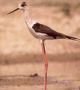 Adult Black-winged Stilt