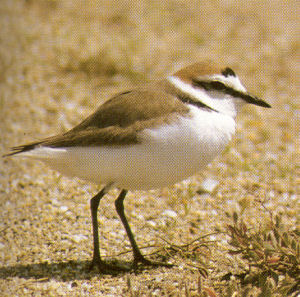 Male Kentish Plover