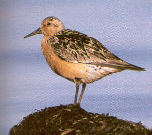 Adult Red Knot