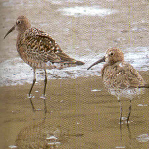 Adult Curlew Sandpiper - Norfolk