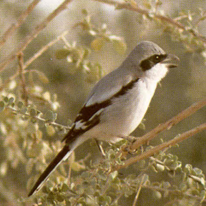 Female Adult Great Grey Shrike