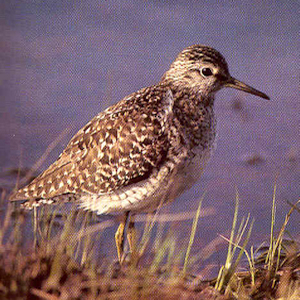 Adult Wood Sandpiper
