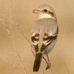Juvenile Great Grey Shrike