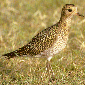 Juvenile European Golden Plover
