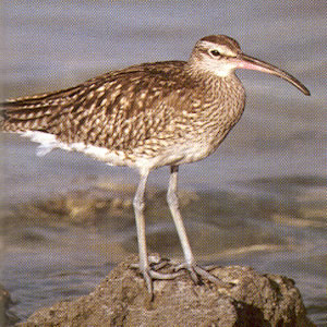 Whimbrel<br />Mounds