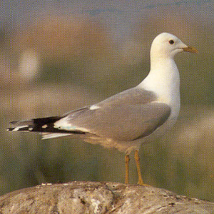 Adult Common Gull