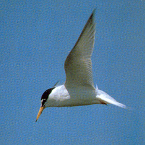 Adult Little Tern