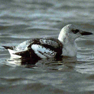 Juvenile Black Guillemot