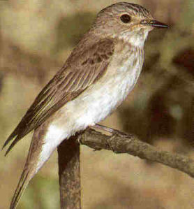 Adult Spotted Flycatcher