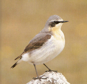 Male Adult Wheatear