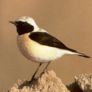 Male Adult Black-eared Wheatear