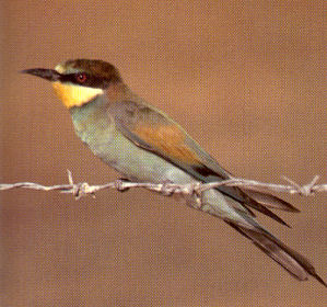 Female Bee-eater